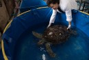 La tortue qui a avalé 915 pièces de monnaie réapprend à nager
