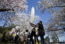 Le blizzard va-t-il défleurir les cerisiers japonais à Washington?