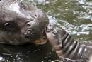 Un bébé hippopotame pygmée reçoit les câlins de sa mère... | 17 mars 2017