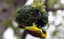 Le tisserand gendarme mâle en pleine construction d'un nid, essentiel... | 22 mars 2017