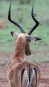 L'impala est un animal très convoité par les carnivores de... | 22 mars 2017