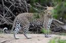 Pas facile de croquer un léopard sur le vif. Erick... | 22 mars 2017