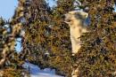 Un ours polaire cause l'émoi en Basse-Côte-Nord