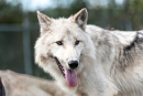 Une plage de Colombie-Britannique fermée après une attaque de loups