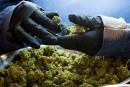 Ottawa veut légaliser le <em>pot</em> dès juillet2018<strong></strong>