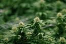 Les chefs de police ne veulent pas de culture de marijuana dans les résidences