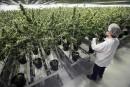 Légalisation du cannabis: des recettes estimées à 675 millions en 2018