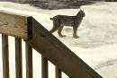 Un lynx dans un quartier résidentiel de Rivière-du-Loup