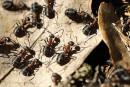 Les fourmis pourraient avoir inventé l'agriculture