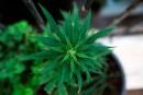Cannabis: pas dans les logements, disent des assos de propriétaires