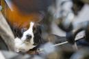 Plusieurs chiens MIRA sont des labernois, un mélange de labrador,...   25 avril 2017