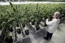 Légalisation du cannabis:le calendrier se précise<strong></strong>