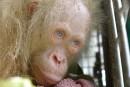 Un ourang-outan albinos est trouvé en Indonésie