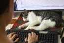 «Ronronthérapie»: des chats contre le stress au bureau à Tokyo