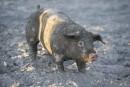 Festival du cochon: un 40e relevé