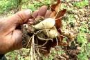 Une action concrète pour sauver l'ail des bois