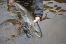 La onzième heure du saumon