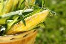 Le maïs de Neuville, un blé d'inde unique