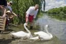 Les cygnes royaux retournent dans la rivière Rideau