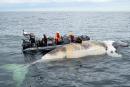 Nécropsies complétées sur les baleines retrouvées mortes dans le Saint-Laurent