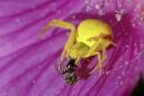 Michel Aubé | Entre crabe et caméléon, l'araignée des fleurs