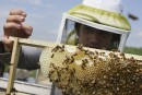 La nocivité d'un insecticide pour les abeilles est confirmée