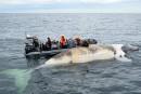 Baleines noires mortes: «il y a péril en la demeure»