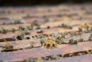 La mortalité des abeilles plus élevée que la normale