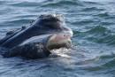 Ottawa s'engage à davantage protéger les baleines noires
