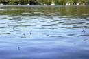 Lutte contre la prolifération du myriophylle à épi: un projet freiné au lac Lovering
