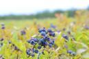 Bleuets: une récolte dans la moyenne