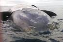 Une huitième baleine noire trouvée morte