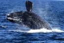 Une dixième baleine noire trouvée morte dans le golfe