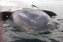 Une dixième baleine noire a été retrouvée morte dans le golfe