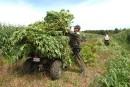 Les champs de cannabis au secours des communautés rurales?