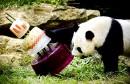 Le panda géant, Xing Ya, célèbre son quatrième anniversaire avec...   8 août 2017