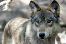 Les tireurs blancs sont-ils des «loups solitaires» par défaut?