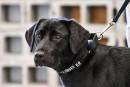 Lulu, le labrador qui ne voulait pas renifler les bombes pour la CIA