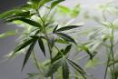 Cannabis: les municipalités réclament leur juste part des revenus