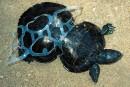 Le triste sort de tortues assaillies par le plastique