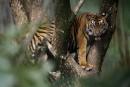 Les tigres de Sumatra menacés par la déforestation