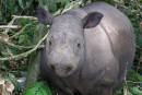 Le rhinocéros de Sumatra en voie d'extinction depuis un million d'années