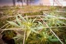 Quand GardaWorld lorgne la marijuana