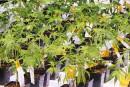 Cannabis: les chimistes réclament un contrôle de qualité pancanadien