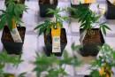 Cannabis médical: 277millions investis par un fonds mystérieux