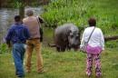 La longue traque de Tyson, l'hippopotame vagabond
