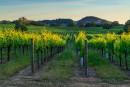 Entre 8 et 12% des vignobles sont cultivés en bio