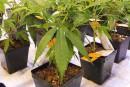 Cannabis: MedReleaf et Aurora discutent, mais toujours pas d'entente