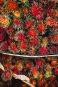 Le fruit du ramboutan rappelle celui du litchi. On les... | 11 mai 2018