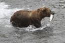 Sous Trump, bacon et beignes bientôt réautorisés pour chasser l'ours en Alaska